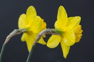 C. Vincent Ferguson - Two Daffodils - Digital Image